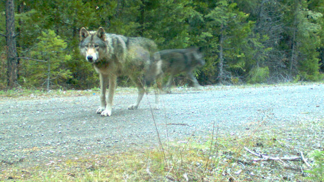 Wandering wolf may have found a mate
