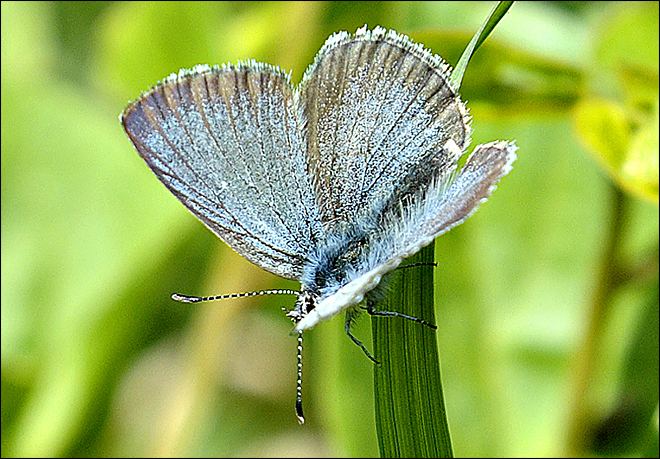 Rare butterfly back in Willamette Valley refuge