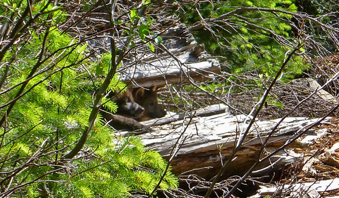 Wolf pups confirmed in Oregon Cascades for first time since 1940s