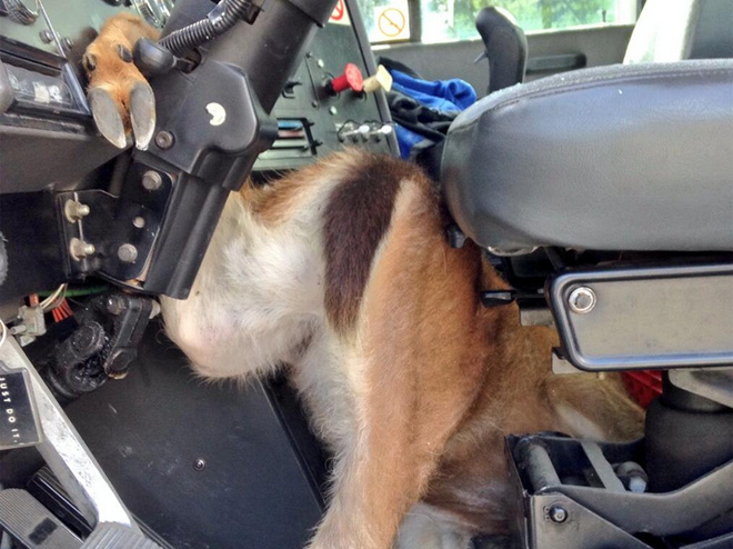 Deer crashes through semi truck cab on I-5 in Tacoma