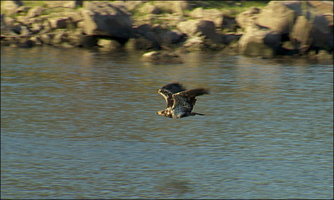 Eagle targeting family pets along Willamette River