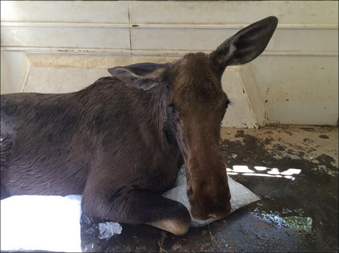 State officials remove moose from Boise