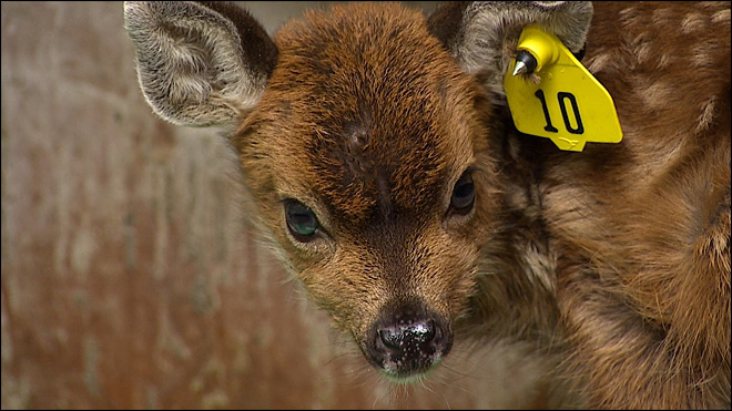 Washington wildlife rehab center maxed out with fawns