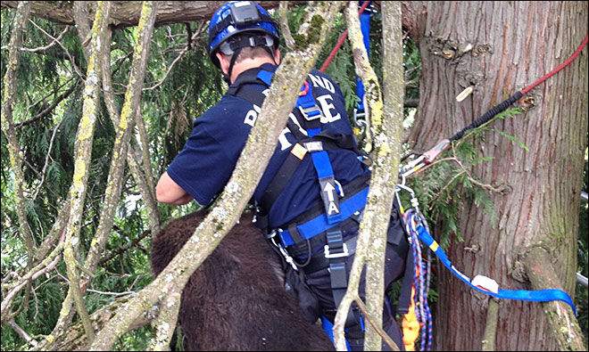 Black bear tranquilized after chase through Portland