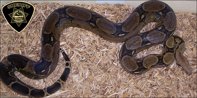 Misssssing snake: 10-foot boa constrictor on the loose