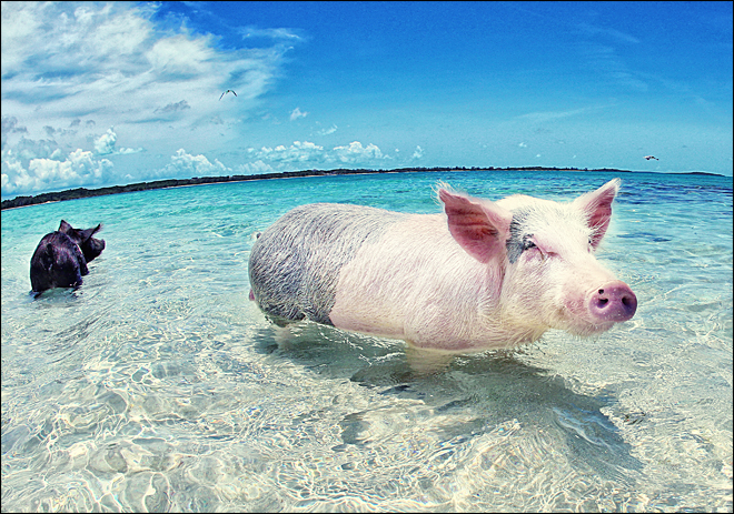 Revealed: Swimming pigs of the Bahamas