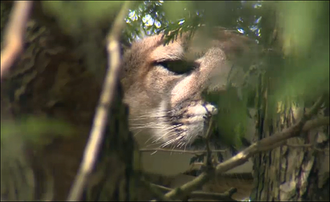 Cougar in Northeast Portland tree humanely euthanized, ODFW says