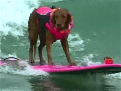 Surfing dogs try to 'Hang 4'