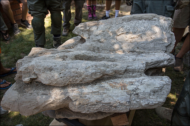 Rare whale fossil pulled from California backyard