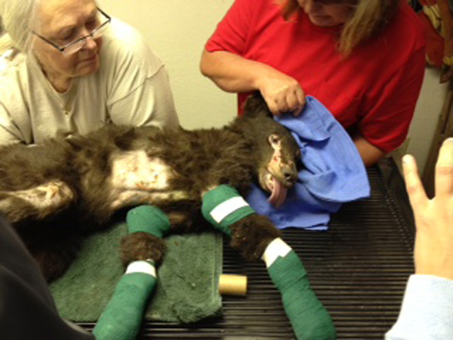 """Cinder"" gets treatment for badly burned paws"
