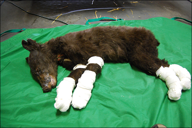 Orphaned bear cub escapes wildfire with badly burned paws