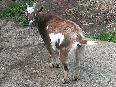 Goat named Penelope stolen from SE Portland home, police say