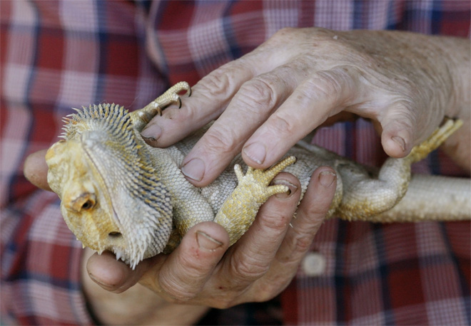 Bearded Dragon CPR