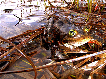 Deal will help protect spotted frogs in Bend development zone