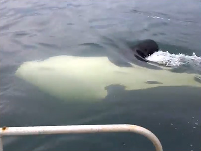 Man has very close encounter with orcas off Anderson Island