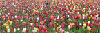 APTOPIX Belgium Spring Tulips