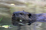 Beavers to the rescue: 'They can be good ecosystem engineers'