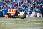 Photos: Wiener dogs hustle at Seahawks halftime
