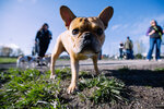 Photos: French Bulldogs frolic at the Frenchie Frolic