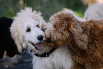 Photos: Hypoallergenic fun at Seattle's Doodle Romp
