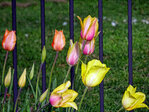 Tulips blowing in the wind