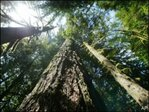 Study warns Douglas fir root rot could get worse