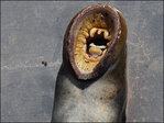 Photos: Tribes harvest lamprey from Willamette River