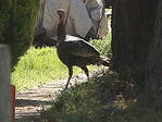 Horse sanctuary to city: We&apos;ll take your wild turkeys