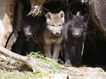 Draft rule ends federal protections for gray wolves