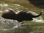 Swimming elephants: Lily and Rose-Tu go for a dip to stay cool