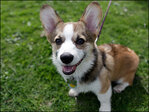 Photos: Seattle's Corgi Meet Up