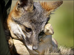 Rare island fox on the rebound from near-extinction