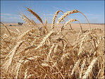 Kleenex maker turns to wheat straw as paper supply dwindles