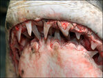 California fisherman reels in enormous mako shark