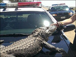Alligator takes pit stop near Calif. intersection