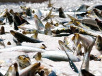 Feds slash sardine harvest along West Coast