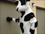 Busted! Man arrested for allegedly stealing Chick-fil-A cow costumes