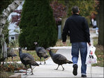 Is NYC for the birds? Wild turkeys spur tension