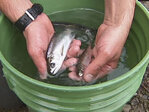 Low water in reservoir helps salmon get past dam
