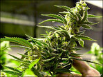 Can marijuana treat epilepsy? Doctors call for study