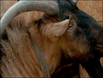 Roaming 'disorderly' goat corralled after head-butting door