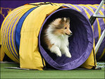 Dogs take on Westminster show's 1st agility trial