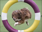 Border collie wins Westminster show agility trial