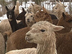 'We call it the Alpaca-lypse': 175 rescued animals arrive at OSU