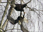 Fierce fight between bald eagles attracts attention in SE Portland