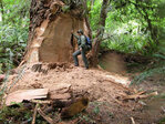 Poachers target redwood tree roots