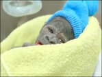 San Diego Zoo performs rare C-section on gorilla