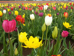 Photos: Tulip Fest 2014