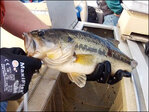 Researchers net 'zombie bass' with electricity