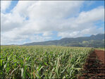 Hawaiian corn is genetically engineered crop flash point